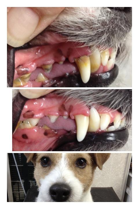 犬の歯の病気の大半は歯石を原因とする歯周病