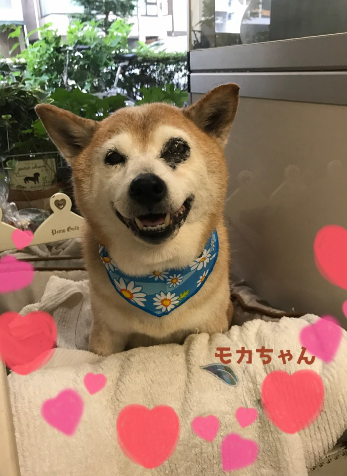 柴犬  モカちゃん