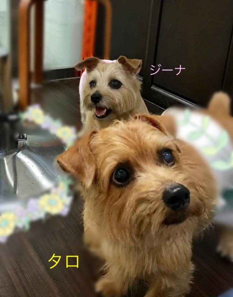ノーフォークテリア ジーナちゃん&タロ君