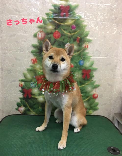 柴犬の幸ちゃん