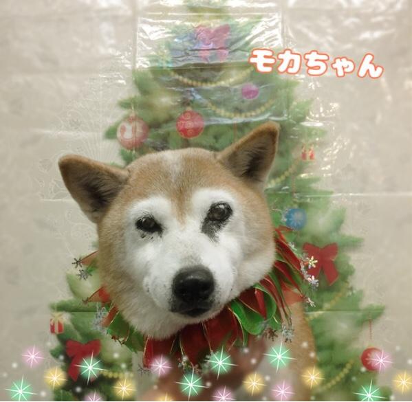 柴犬のモカちゃん