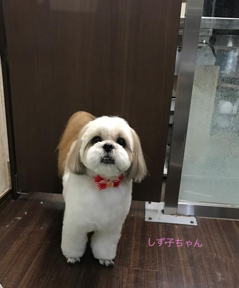 シーズー犬のしず子ちゃん(^ν^)