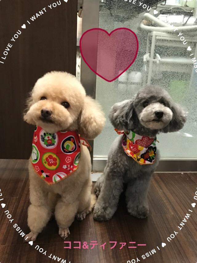 トイプードルのココちゃん&ティファニーちゃん