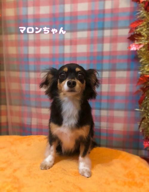 MIX犬のマロンちゃん