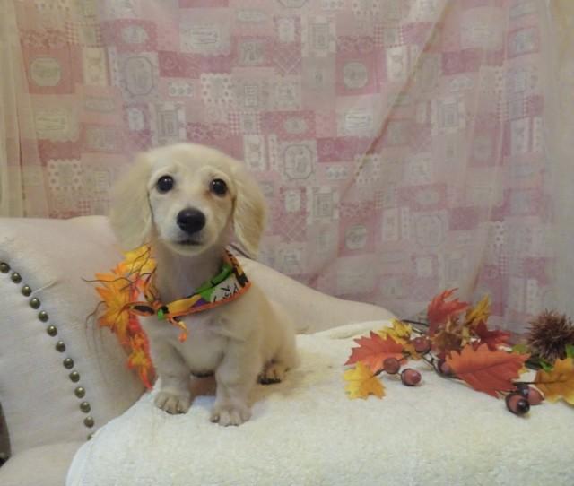 ダックスのクーちゃん 5ヶ月の仔犬